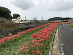 矢勝川に沿って咲き誇る彼岸花。